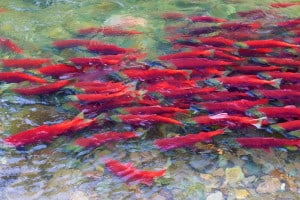 Sockeye Salmon Run
