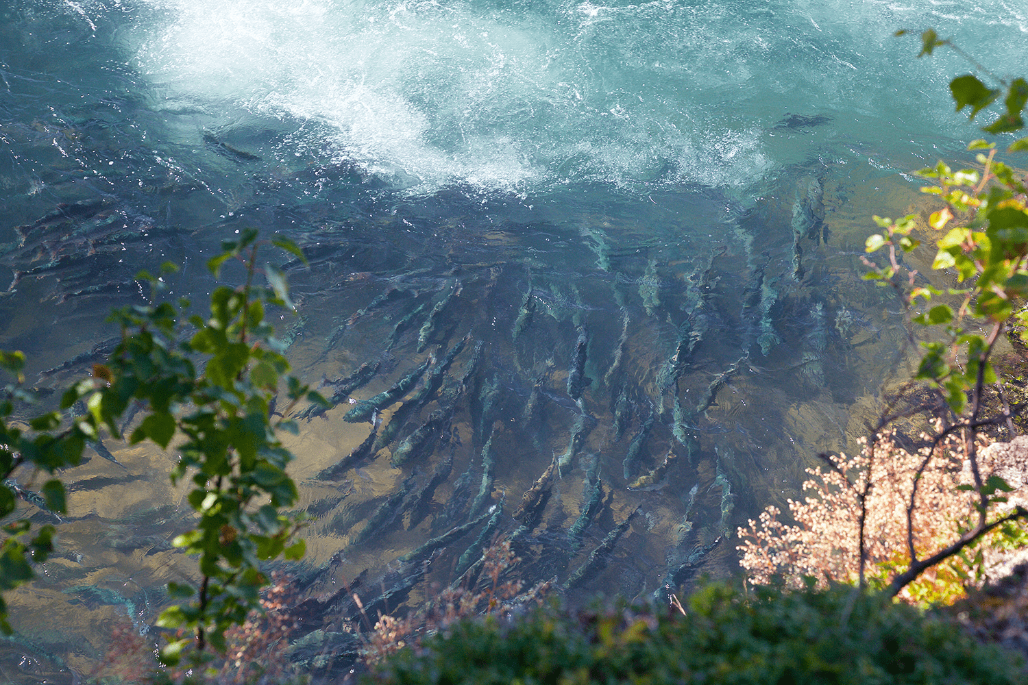 Sockeye Salmon at Newhalen Gorge