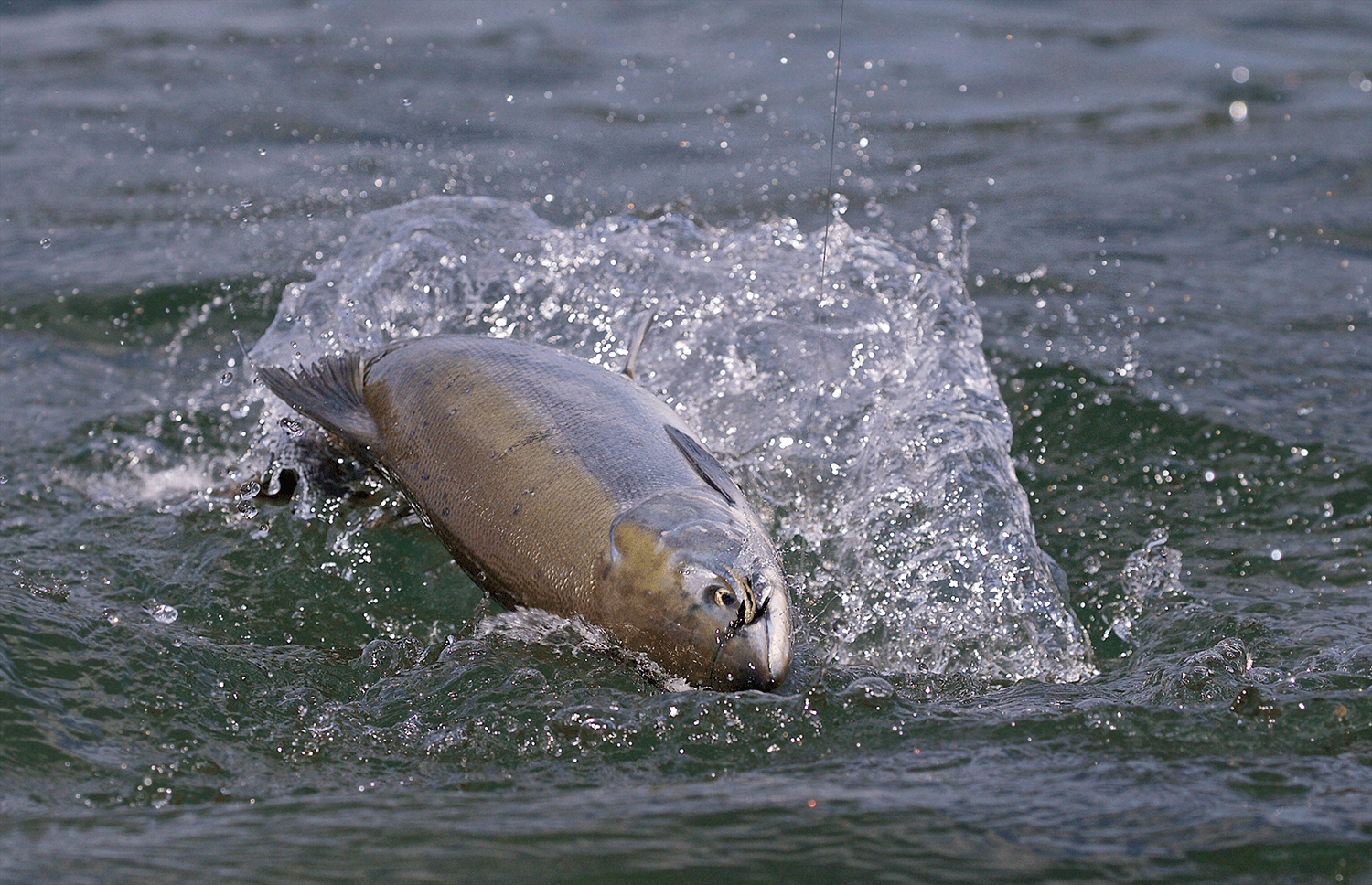 Sockeye Salmon on a Fly