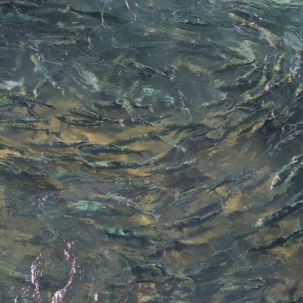 Sockeye Salmon stacked up at the Newhalen River Gorge